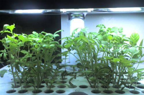 Aerogarden Seedlings Seed Starting for Gardens